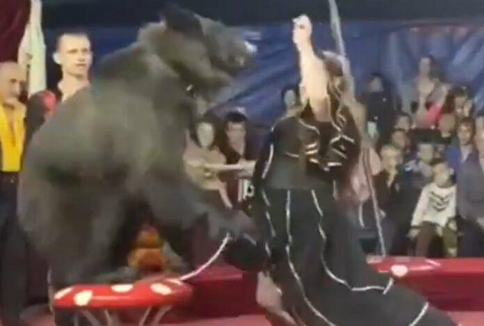 niedźwiedź zaatakował w cyrku